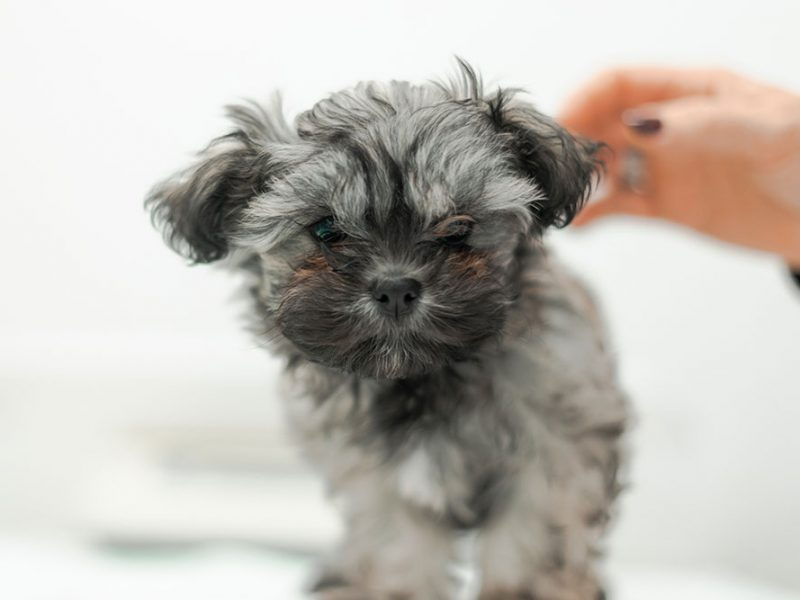 microxip-canino-felinio