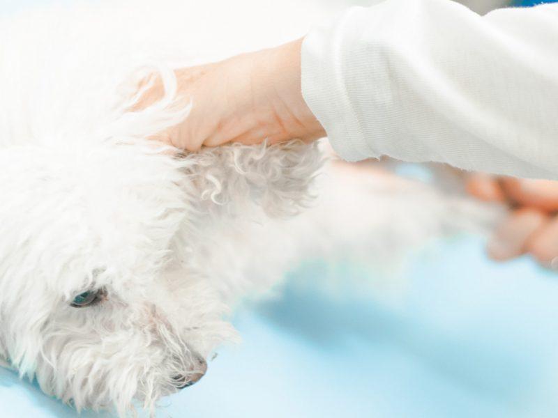 revisio-gossos